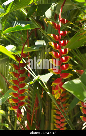 Sri Lanka, Galle Province, Unawatuna, Heliconia flowers in tropical garden - Stock Photo