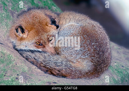 Vulpes vulpes. Beautiful red fox over a rock, coiled, with his eyes opened - Stock Photo