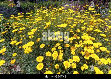 Cota tinctoria - golden marguerite or yellow chamomile - Stock Photo
