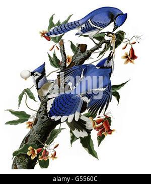 Blue Jay, Cyanocitta cristata, Blue Jay, birds, 1827 - 1838 - Stock Photo