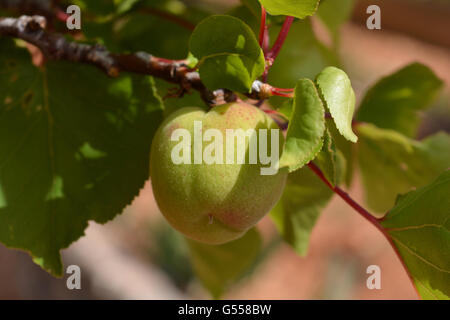 Unripe apricot on a tree, not ready for picking. - Stock Photo