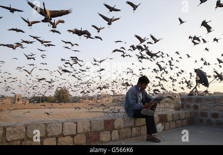 Demoiselle Crane (Anthropoides virgo) flock, in flight, taking off from feeding area, with man reading newspaper, - Stock Photo