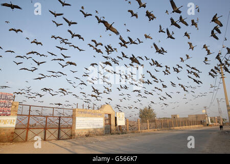 Demoiselle Crane (Anthropoides virgo) flock, in flight over feeding area, Khichan, Jodhpur District, Thar Desert, - Stock Photo