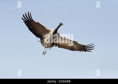 Demoiselle Crane (Anthropoides virgo) adult, in flight, Khichan, Jodhpur District, Thar Desert, Rajasthan, India, - Stock Photo