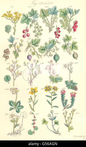 WILD FLOWERS: Red, Rock, Mtn Black Currant; Gooseberry; Saxifrage. SOWERBY, 1890 - Stock Photo
