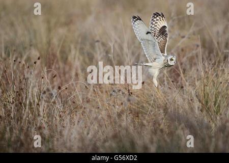 Short-eared Owl (Asio flammeus flammeus) adult, in flight, taking off from rough grassland, Fen Drayton RSPB Reserve, - Stock Photo