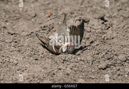 House Sparrow (Passer domesticus) adult male, dustbathing in bare soil, Merseyside, England, June - Stock Photo