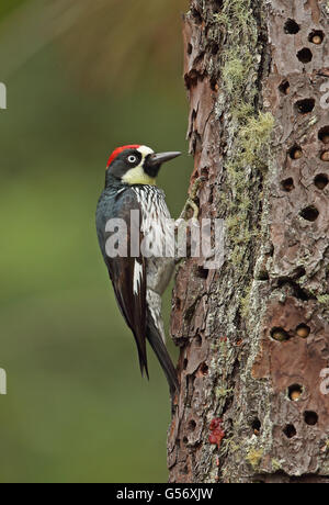 Acorn Woodpecker (Melanerpes formicivorus lineatus) adult male, clinging to tree trunk, with acorns stored in cache, - Stock Photo