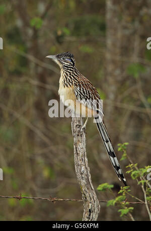 Lesser Roadrunner (Geococcyx velox) adult, perched on fencepost, Honduras, February - Stock Photo