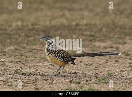 Lesser Roadrunner (Geococcyx velox) adult, standing, Honduran Emerald Reserve, Honduras, February - Stock Photo