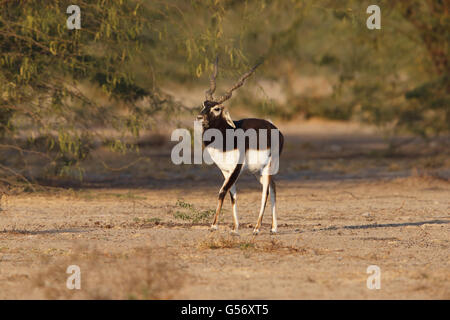 Blackbuck (Antilope cervicapra) adult male, walking, Blackbuck Reserve, Tal Chhapar, Thar Desert, Rajasthan, India, - Stock Photo