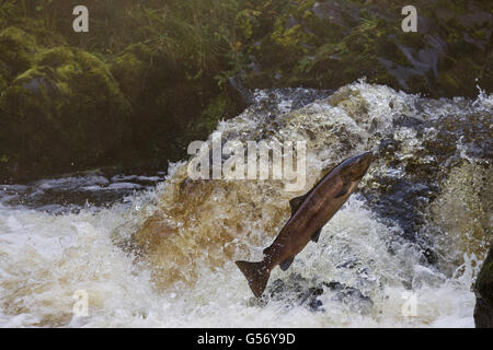 Atlantic Salmon (Salmo salar) adult, leaping up waterfall, moving upstream to spawning ground, River Whiteadder, - Stock Photo