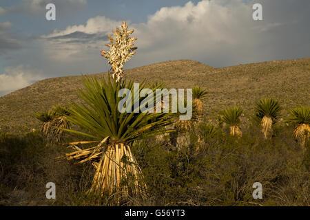 Faxon Yucca (Yucca faxoniana) flowering, growing in desert, Dagger Flats, Big Bend N.P., Chihuahuan Desert, Texas, - Stock Photo