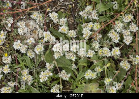 Algerian Tea (Paronychia argentea) flowering, Spain, April - Stock Photo