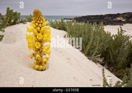 Yellow Broomrape (Cistanche phelypaea) flowering, parasitic on Chenopodiaceae, growing on coastal sand dune habitat, - Stock Photo