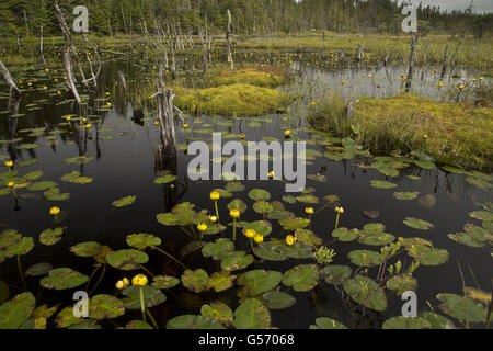 Variegated Pond-lily (Nuphar variegata) flowering, growing in bog pool at edge of forest, Avalon Peninsula, Newfoundland, - Stock Photo