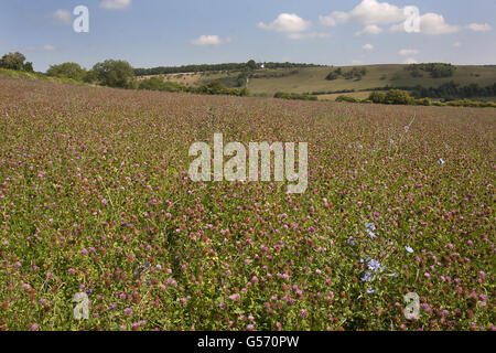 Organically managed pastures created for wildlife and biodiversity, looking towards Cobstone Mill, Turville, Chiltern - Stock Photo
