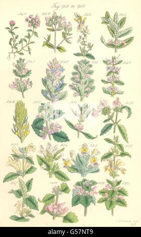 WILD HERBS: Thyme Marjoram Germander Sage Bugle motherwort Nettle. SOWERBY, 1890 - Stock Photo