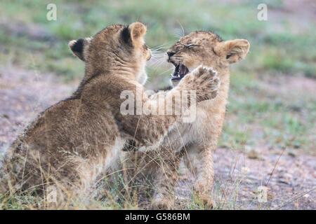 Two lion cubs fighting or playing, Masai Mara, Kenya, Africa