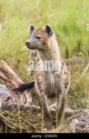 Black spotted Hyena standing besides a carcass looking after lions, Masai Mara, Kenya, Africa - Stock Photo