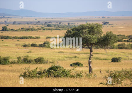 Landscape view over Masai Mara with an Acacia tree in the front, Kenya, Africa - Stock Photo