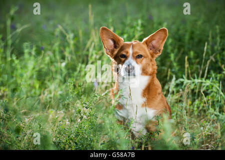 Small dog (Welsh corgi) looking in the grass lying in the camera. - Stock Photo