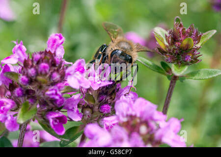 Bee on Thymus pulegioides, broad-leaved thyme, lemon thyme - Stock Photo