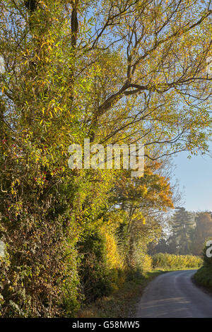 Willow trees in autumn by the side of a country lane in Norfolk, England, UK - Stock Photo