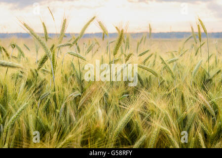 Barley in the field, closeup, selective focus - Stock Photo