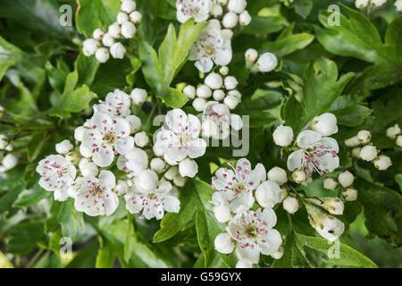 Common Hawthorn blossom, Crataegus monogyna - Stock Photo