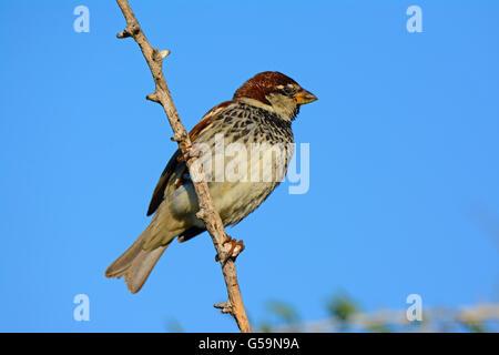 Spanish sparrow, Passer hispaniolensis - Stock Photo