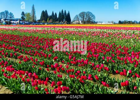 Vibrant colorful tulip field in Woodburn, Oregon - Stock Photo