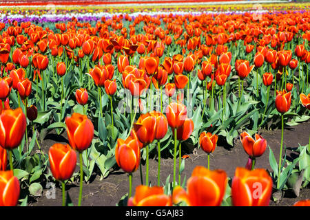 Low angle view of a tulip field in Woodburn, Oregon - Stock Photo