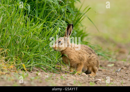 Brown Hare(Lepus europaeus) on farmland. - Stock Photo