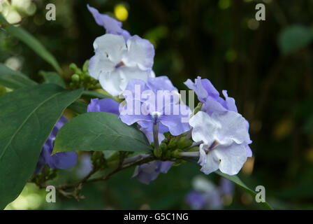 Brunfelsia pauciflora,  Yesterday Today and Tomorrow plant, - Stock Photo