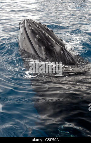 Humpback whale (Megaptera novaeangliae), species-specific Spy-hopping, Queensland, Pacific, Australia - Stock Photo