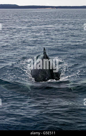Humpback whale (Megaptera novaeangliae) diving, Queensland, Pacific, Australia - Stock Photo
