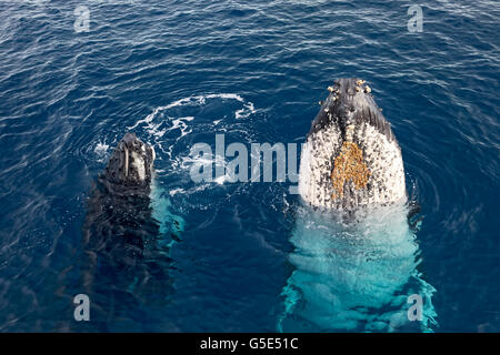 Humpback whale (Megaptera novaeangliae) with pup, species-specific Spy-hopping, Queensland, Pacific, Australia - Stock Photo