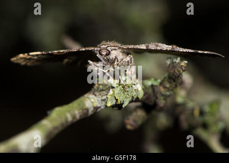 Mottled beauty moth (Alcis repandata). British insect in the family Geometridae, the geometer moths, laying eggs - Stock Photo