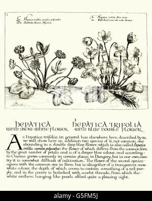 Vintage engraving of Hepatica,  a genus of herbaceous perennials in the buttercup family,  Hortus Floridus, Crispin - Stock Photo