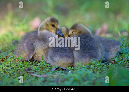 group of goslings huddling in a grassy meadow - Stock Photo
