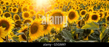 Sunflower in the field shined by sun rays from back - Stock Photo