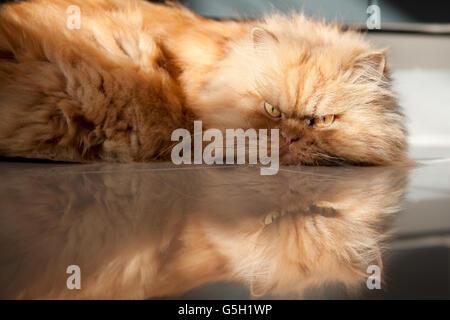 Persian cat lying on floor - Stock Photo