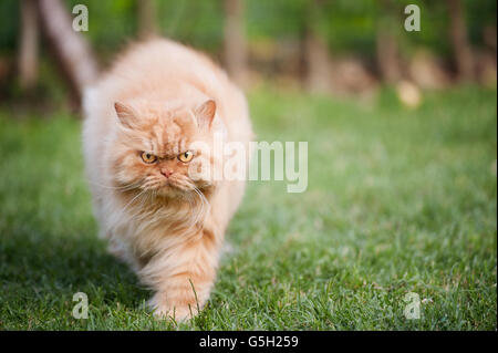 Angry Persian cat walking - Stock Photo