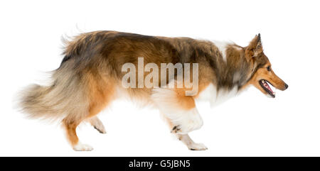 Shetland Sheepdog running in front of a white background - Stock Photo