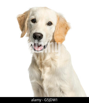 Close-up of a Golden retriever in front of a white background - Stock Photo