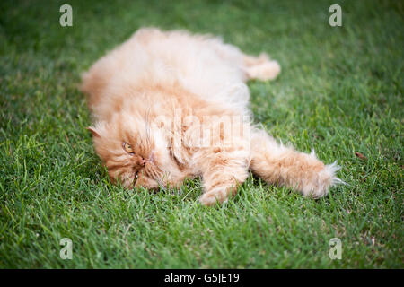 Persian cat lying on grass - Stock Photo