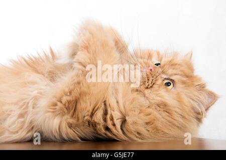 Persian cat lying on back - Stock Photo