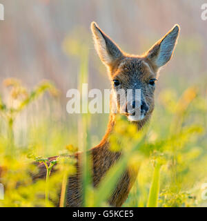 Female roe deer - Stock Photo