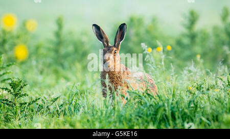 A brown hare in a lush Summer meadow - Stock Photo